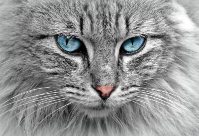 Distintas razas de gato